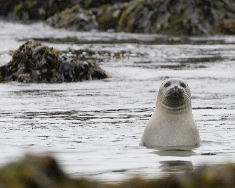 A curious harbor seal pokes its head out from the among the kelp beds.