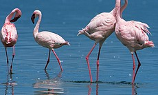 Lesser flamingo (Phoeniconaias minor) bill-fencing as part of courtship, Lake Nakuru, Kenya.