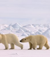 Polar bear (Ursus maritimus) pair in rough ice on the frozen Eastern Chuckchi Sea, Arctic Alaska.
