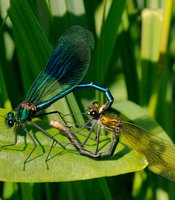 Male banded demoiselle damselfly (Calopteryx splendens) gripping female with tail claspers as she prepares to mate in wheel position, Wiltshire, UK, May.