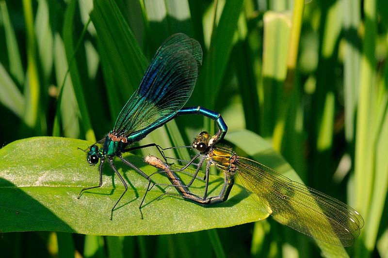 Male banded demoiselle damselfly (Calopteryx splendens) gripping female with ...