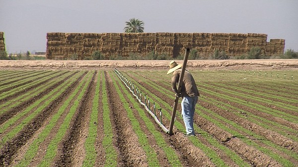 A farmworker removes the irrigation system from a field n...