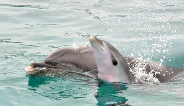 A baby bottlenose dolphin swims with its mother shortly after birth at SeaWorld San Diego.