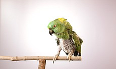 Yellow-naped Amazon parrot - this bird has plucked the feathers from its' che...