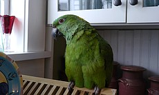 Yellow-naped Amazon parrot, Foster Parrots, New England Exotic Wildlife Sanct...