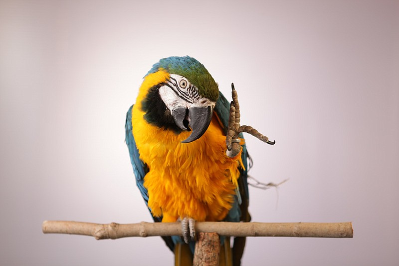 Blue and gold macaw, Foster Parrots, New England Exotic Wildlife Sanctuary, H...
