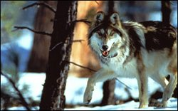 At last count only three breeding pairs of Mexican wolves lived in the wild, ...