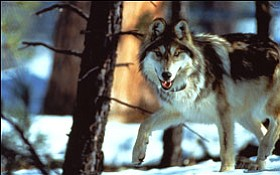 At last count only three breeding pairs of Mexican wolves...