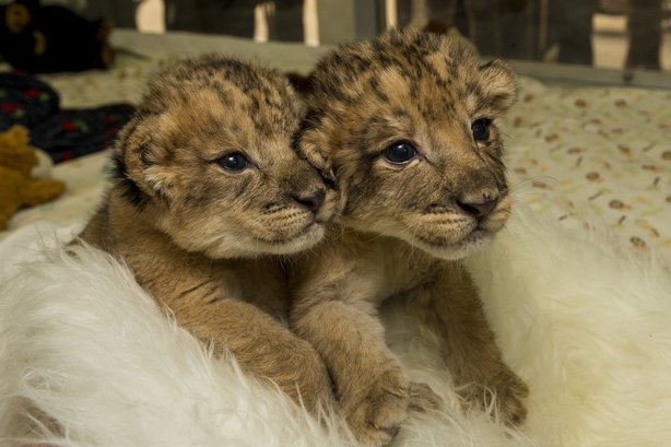 Ken and Dixie, the first African lion cubs born at San Diego Safari Park since 2007, are seen 10 days after birth on Dec. 16, 2013.