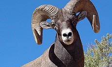 Bighorn sheep. Dinosaur National Monument is home to more than 400 different species of mammals, birds, fish, reptiles, and amphibians.
