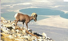 Bighorn Sheep captured by remote camera, Great Basin National Park, Nevada ne...