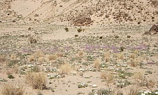 Wildflowers in the remote corners of the Mojave National Preserve, like Devil...