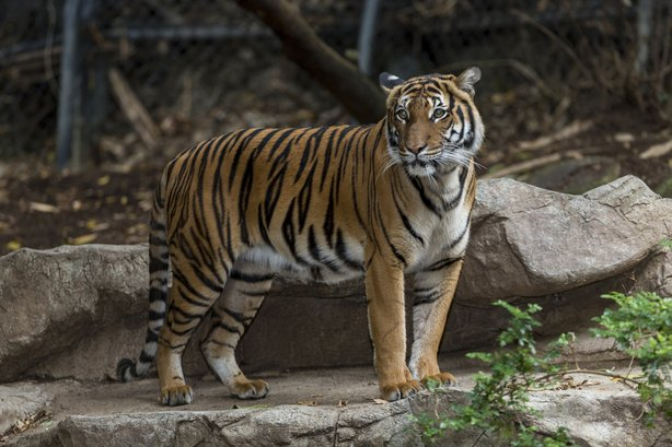 Tiga is pictured above. Malayan tigers are a critically endangered species, w...
