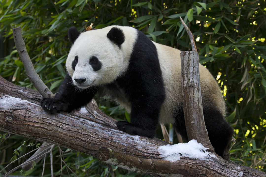 San Diego Zoo Panda Returning To China Kpbs