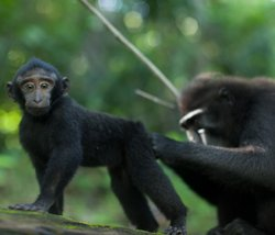 Juvenile crested black macaque being groomed.