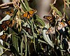 Monarch Butterfly Population Drops, Migration Might Disappear