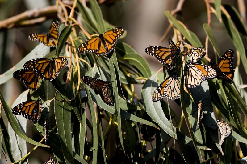 The number of Monarch butterflies wintering in Mexico plunged this year to it...