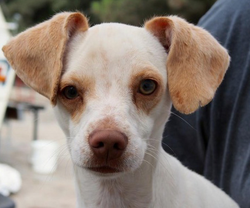 A dog named Cadbury is one of the dogs available for adoption at Baja Dog Rescue. Rescue groups fear a new 16 percent tax on pet food will cause many more Tijuana dogs to be abandoned.