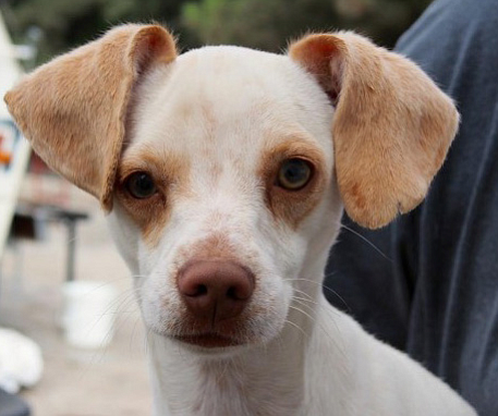 A dog named Cadbury is one of the dogs available for adoption at Baja Dog Res...