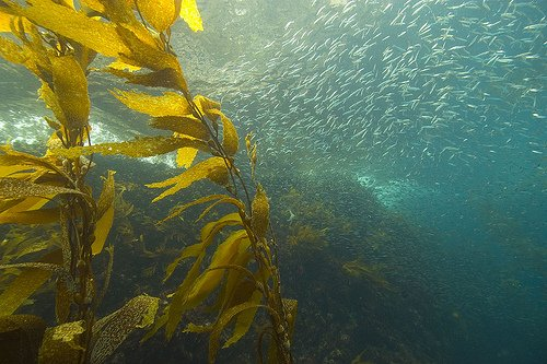 California kelp is home to many small fish. Kelp samples will be taken from more than 30 locations off the California coast, including Pt. Loma and North County.