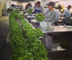 Staff washing lettuce at Go Green Agriculture.
