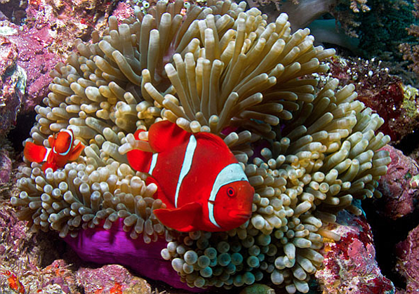 West Papua is a province of Indonesia and is part of the Coral Triangle, cons...