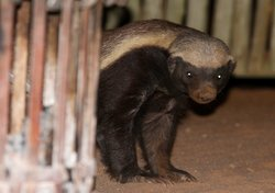 Honey badger appearing by the fireside at a safari camp in the Greater Kruger...
