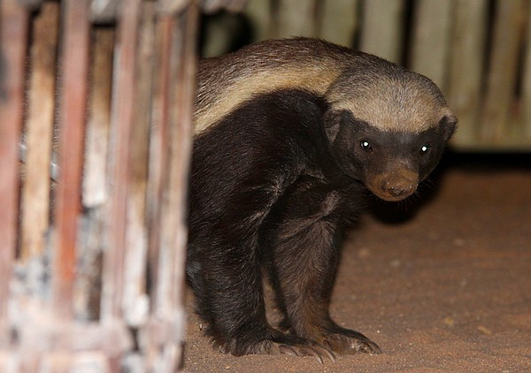Honey badger appearing by the fireside at a safari camp i...