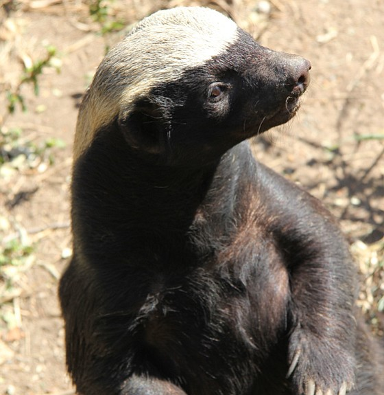 Honey badger, Moholoholo Wildlife Rehabilitation Centre, ...