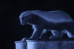 A honey badger showing its impressive build perched on top of an oil drum at ...