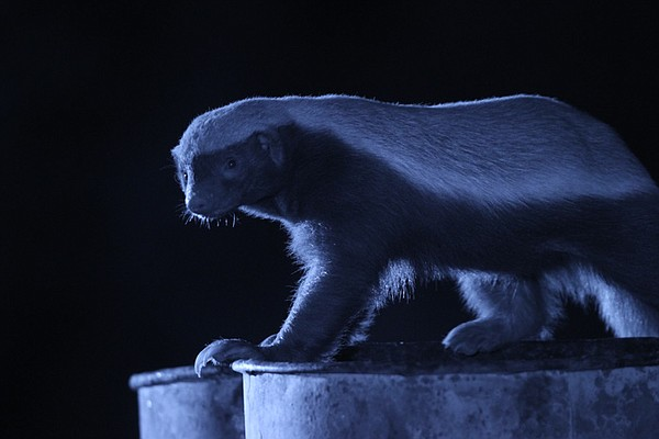 A honey badger showing its impressive build perched on to...
