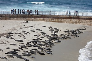 Council Debates La Jolla Beach Ban As Harbor Seal Pupping...
