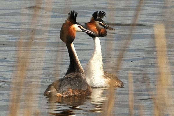 Pair of great crested grebes on water, Ireland.