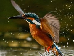 Kingfisher emerges from the river after a quick splash, Longford, Ireland.