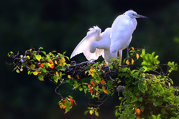 Little Egrets at a tree top nest site.