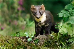 Young pine marten on woodland flow.