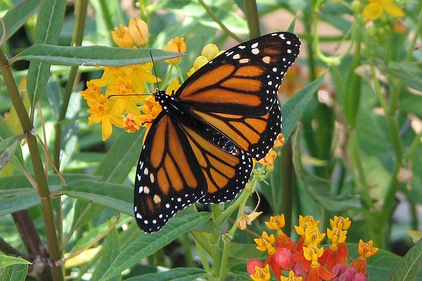 A Monarch Butterfly resting on a Milkweed plant.
