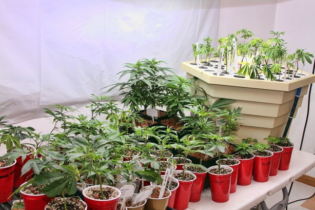 Young plants in a Denver-area house tended by licensed medicinal marijuana ca...