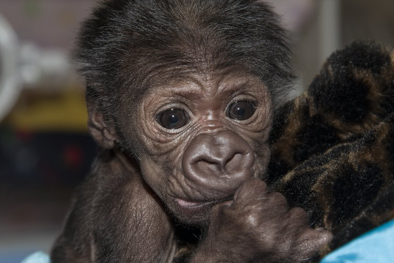 An 8-day-old gorilla at the San Diego Zoo Safari Park cuddles her human handl...
