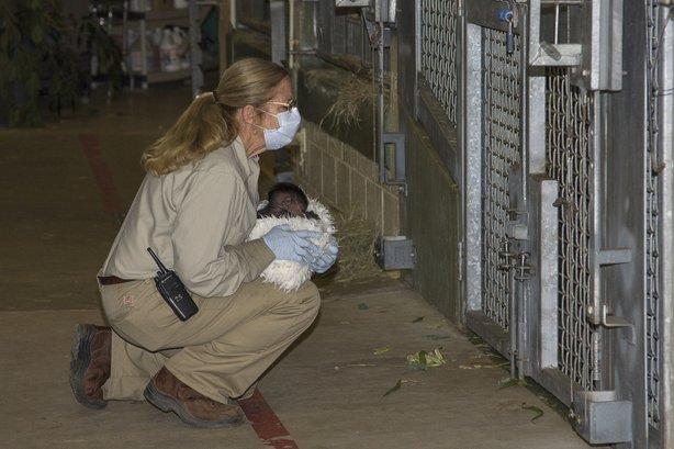 Senior keeper April Silldorff showed the baby gorilla to other members of the...