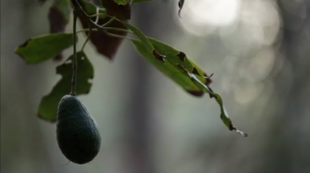 San Diego avocado growers have lost thousands of acres to rising water costs....