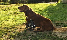 Roofus the dog sitting on lawn with prosthetics...