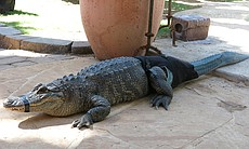Stubbs the alligator laying on stone porch with...