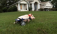 Chris P. Bacon the pig on a lawn, Sumterville, ...