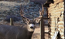 Stag deer beside wooden cabin, Riverton area, Wyoming.