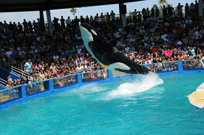 A killer whale performs in Miami, Fla., on April 17, 2011.