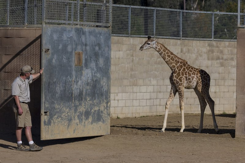A 3-month-old Ugandan giraffe, Leroy, is let into the East Africa exhibit at ...
