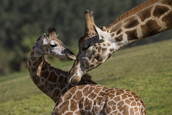 A 3-month-old Ugandan giraffe, Leroy, interacts with a me...