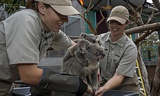 An 8-and-a-half-month-old koala joey named Burra rested on his mother, Tonaleah, while the two received their weekly weight check by keepers at the San Diego Zoo.