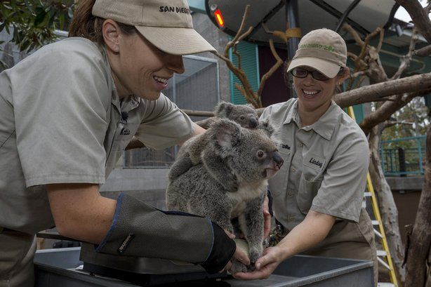An 8-and-a-half-month-old koala joey named Burra rested on his mother, Tonale...